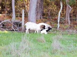 Mums checking newborn lambs