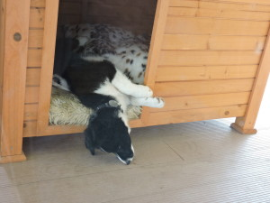 Asleep in one of the kennels