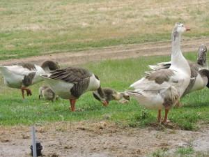 The growing goslings