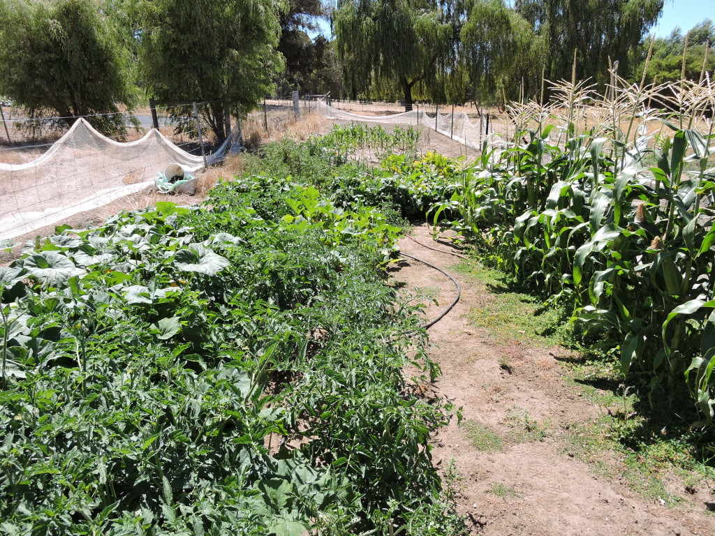 """""""Airstrip"""" vegie garden in early summer"""